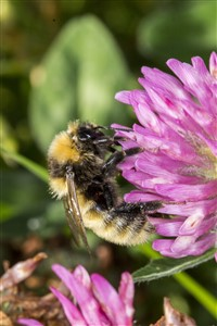 Great Yellow Bumblebee on Red clover, Balranald