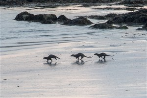 Otters, North Uist