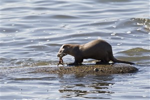 Otter eating a crab