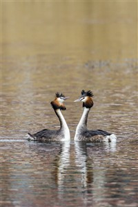 Great Crested Grebes head shaking