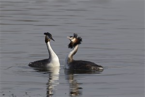 Great Crested Grebe pair head shaking