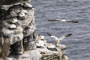 Gannet colony, Noup Head, Westray