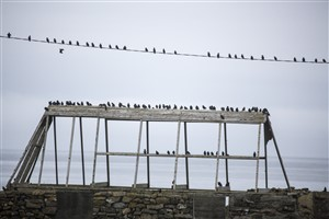 Starlings on power lines, Tiree