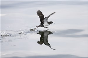 Manx Shearwater in flight on Clyde