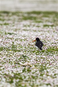 Oyster Catcher and Common Daisies, Burness