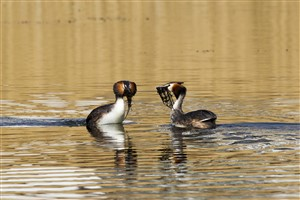 Great Crested Grebe weed dance