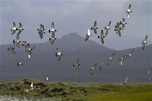 Oyster Catcher flock flying against Hecla, Rudha Aird a' Mhuile, South Uist