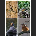 4 greetings cards - King Fishers
