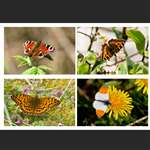 4 greetings cards - Butterflies - Landscape