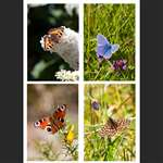 4 greetings cards - Butterflies - Portrait