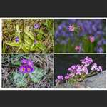 Butterwort, Fairy foxglove, Red Campion, Scottish primrose