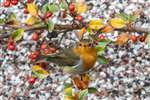 Robin on Cotoneaster, Glasgow