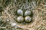 Curlew nest with 4 eggs, Turner Moor, Drymen