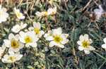 Mountain avens, Rassal