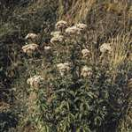 Hemp agrimony, Lancing, Sussex