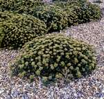 Rock samphire, Shoreham beach, 1973