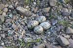 Oystercatcher nest with clutch of 4 eggs, South Lanarkshire