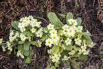 Primroses, Forth and Clyde Canal, Glasgow