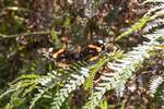 Red Admiral butterfly on bracken, Carrifran Wildwood, Moffat